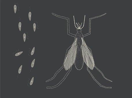 זבוב החול אשר מעביר את המחלה